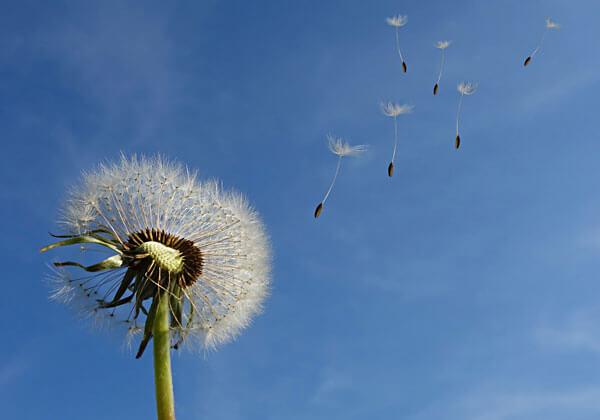fiore soffione
